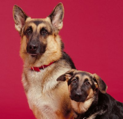 emangiosarcoma_canino.jpg