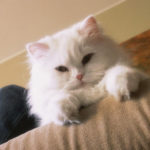 Bronchite nel gatto: sintomi e terapia