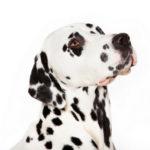 Calcoli nella vescica urinaria nel cane: sintomi, cause e cura