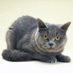Costipazione nel gatto: sintomi e rimedi
