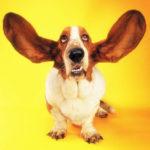 Otite esterna nel cane: cause, sintomi e trattamento