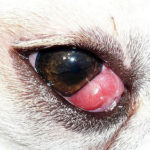 Occhio a ciliegia nel cane: cause, sintomi e trattamento