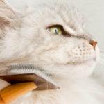 La corretta cura di unghie, pelo e orecchie del gatto