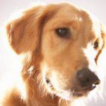 Morbo di Addison nel cane: cause, sintomi e trattamento