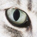 Secchezza oculare nel gatto: cause, sintomi e trattamento