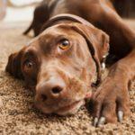 Ipoglicemia nel cane: cause, sintomi e trattamento