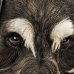 Occhi rossi nel cane: cause, diagnosi e trattamento