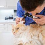 Acari dell'orecchio nel gatto: cause, sintomi e terapia