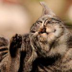 Atopia (dermatite atopica) nel gatto: sintomi e trattamento