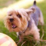 Tosse nel cane: cause, sintomi, diagnosi e trattamento