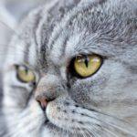Ifema (sangue nell'occhio) nel gatto: cause, sintomi e trattamento