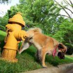 Disuria (emissione difficoltosa dell'urina) nel cane: sintomi e cura