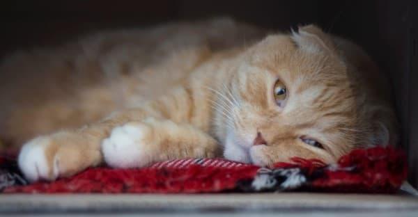 dolore nel gatto