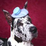 Febbre nel cane: cause, sintomi e trattamento