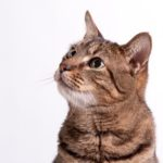Rigurgito nel gatto: cause, diagnosi e trattamento