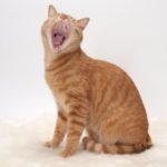 Alito cattivo nel gatto: cause, diagnosi e trattamento