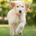 Ipoplasia pancreatica nel cane: sintomi, rischi e gestione