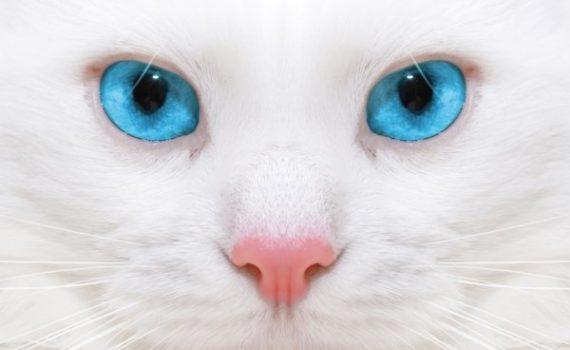 clamidiosi felina