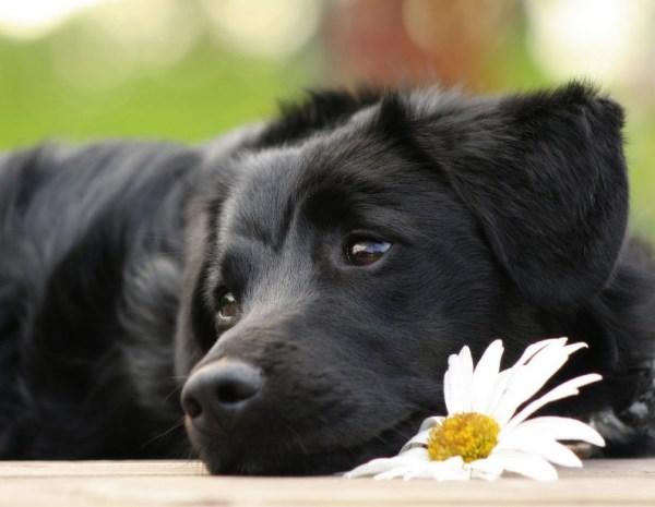 distensione addominale cane