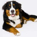 Proteinuria (proteine nelle urine) nel cane: cause, sintomi e terapia