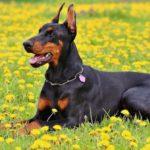 Stenosi cervicale (sindrome di Wobbler) nel cane