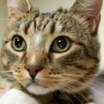 Diabete mellito nel gatto: cause, sintomi e trattamento
