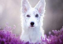 cane uretrite da leccamento