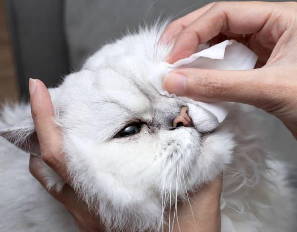 congiuntivite felina