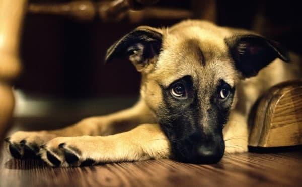 dolore addominale nel cane