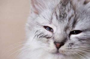 epifora gatto